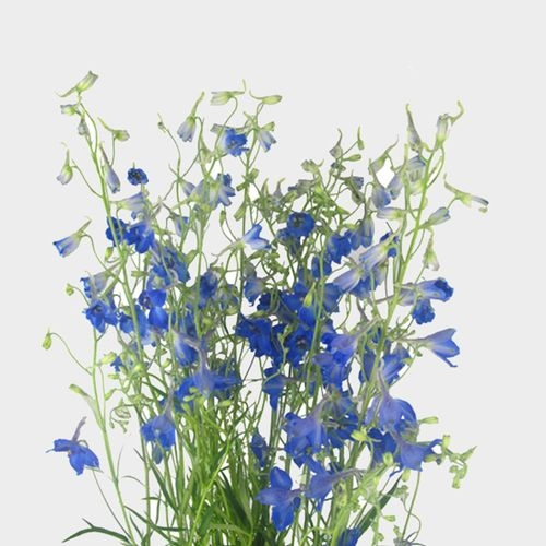 Dark Blue And White Flowers: Dark Blue Delphinium Wholesale Fresh-Cut Flowers