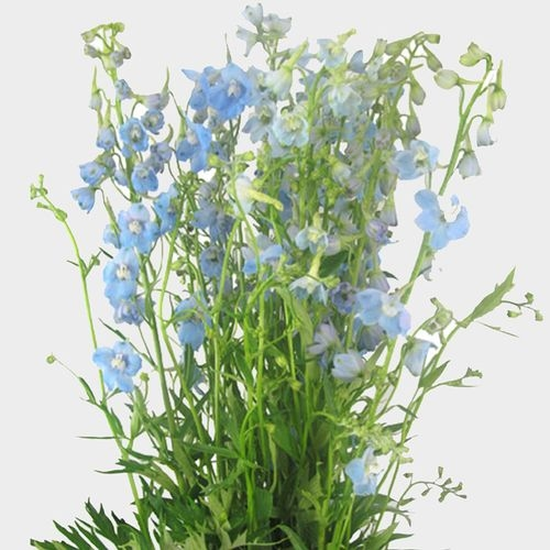 Delphinium Light Blue Flower