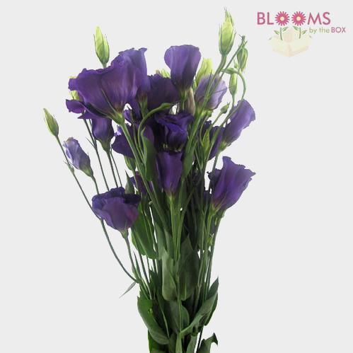 Purple Lisianthus Flowers