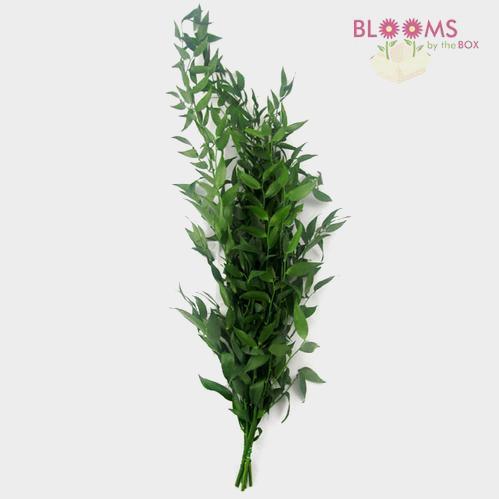 Italian Ruscus Green