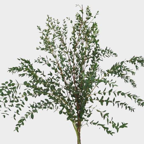 Eucalyptus Bonsai Greens
