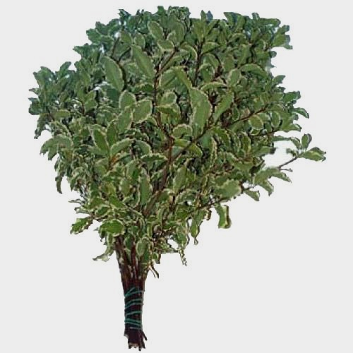 Pittosporum Nigra Variegated Greenery