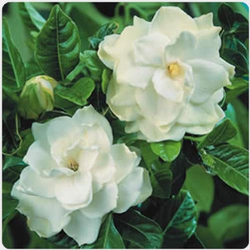 Gardenia White Flower