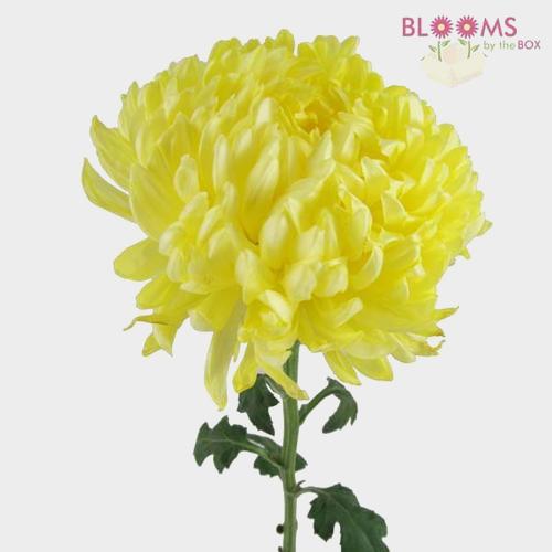 Football Mum Yellow  Flower