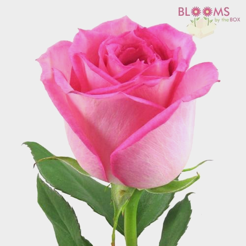 Rose Sweet Unique Soft Pink 60cm