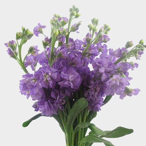 Stock Lavender Flowers