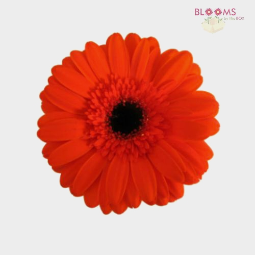 Mini Gerbera Daisy Orange Flower