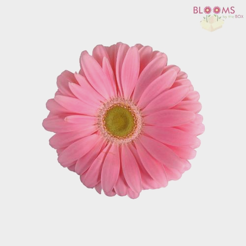 Mini Gerbera Daisy Pink Flower