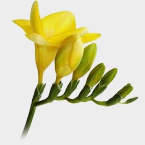 Yellow Freesia Flowers