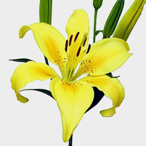 Lily Yellow 3-5 Blooms