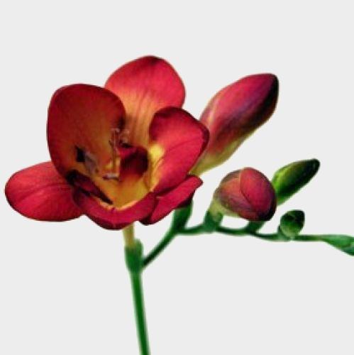 Red Freesia Flowers