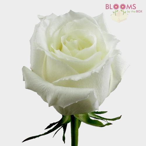 Rose Eskimo White 40cm