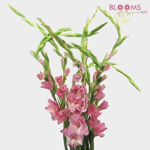 Gladiolus Fancy Pink Flower