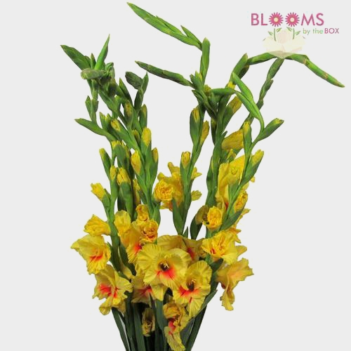 Gladiolus Fancy Yellow Flowers