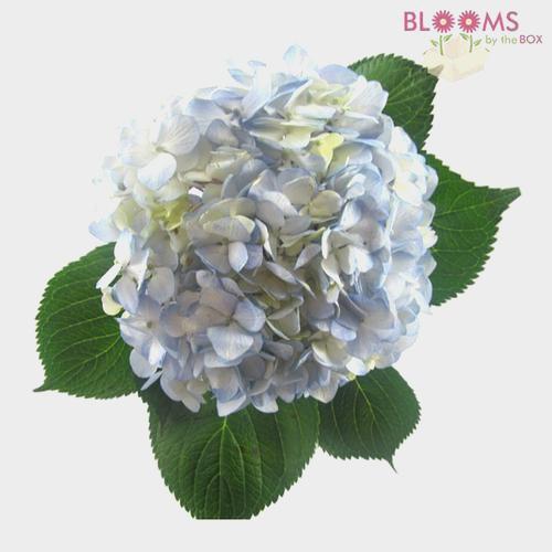 Large Hydrangea Blue Flower
