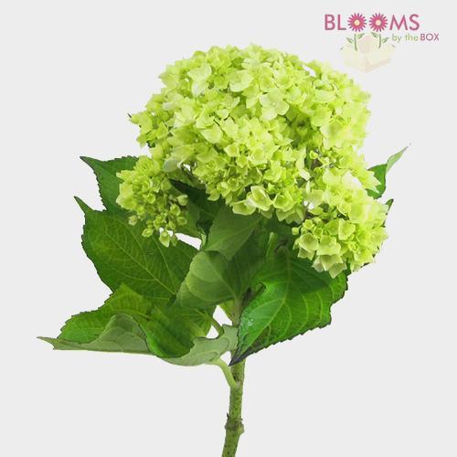 Mini Hydrangea Green Flower