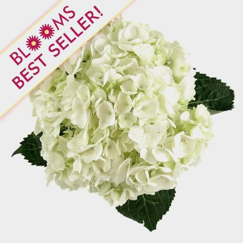 Large Hydrangea White Flower
