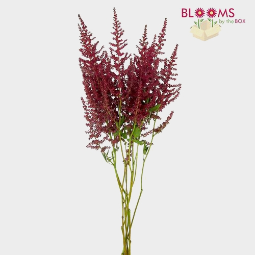 Astilbe Red Flower