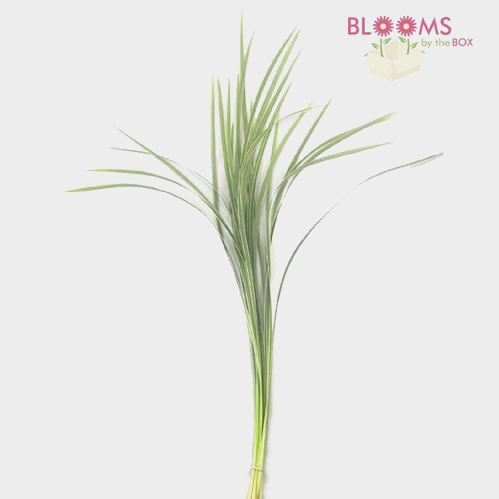 Lily Grass Variegated Greenery
