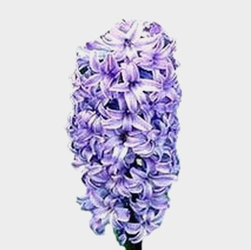 Hyacinthus Blue Flower