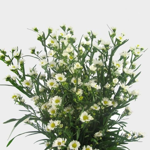 Monte Casino Aster White Flower