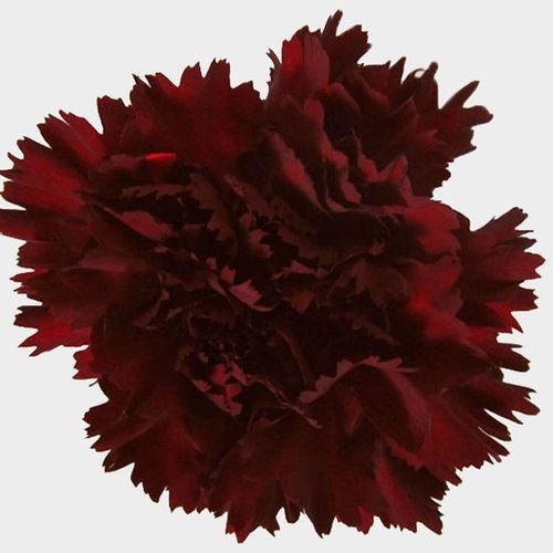 Burgundy Fancy Carnation Flower