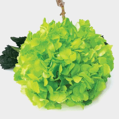 Spray Tinted Hydrangea Flower - Green