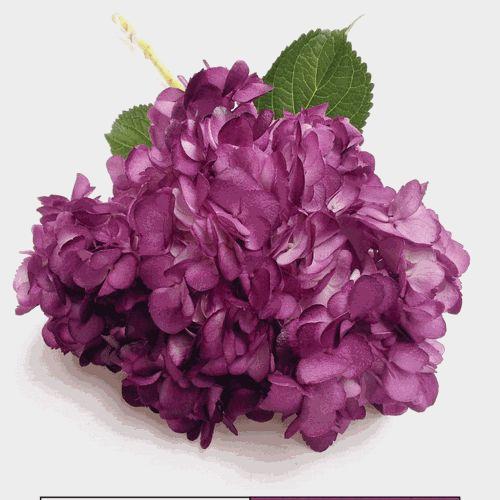 Spray Tinted Hydrangea Flower - Violet