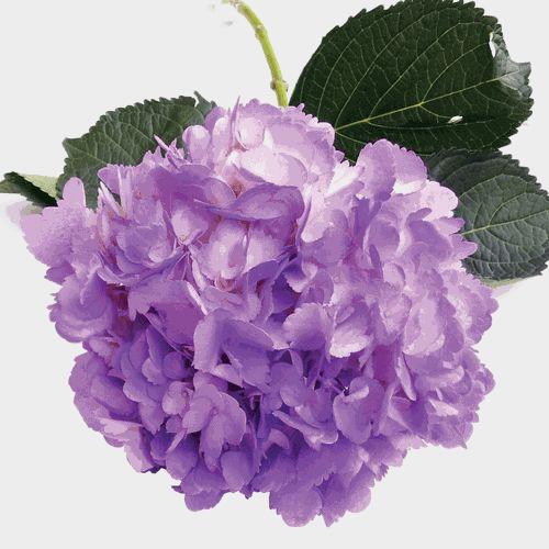 Spray Tinted Hydrangea Flower - Lavender