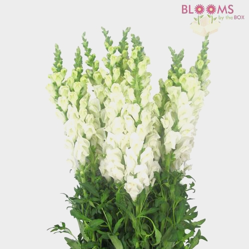 Snapdragon White Flower