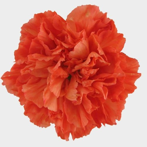 Orange Carnation Flower - Fancy