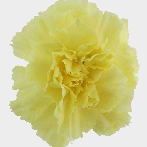 Yellow Carnation Flower - Fancy
