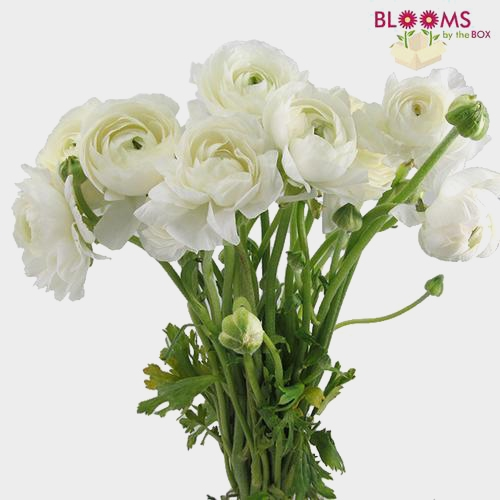 Ranunculus White Flower