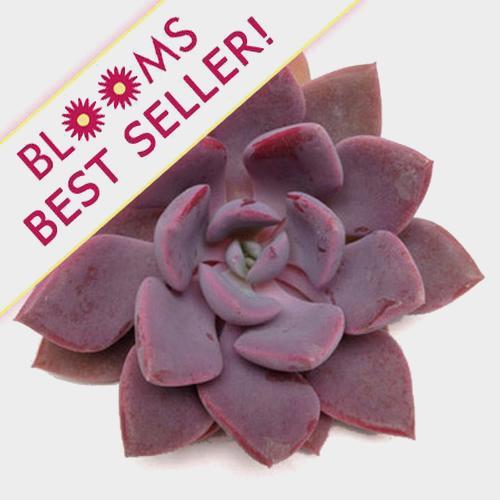 Neurenberg Medium Succulents 10cm