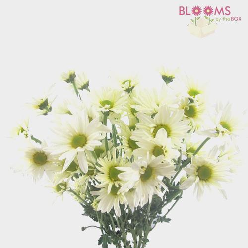 Pompon Daisy White Flower