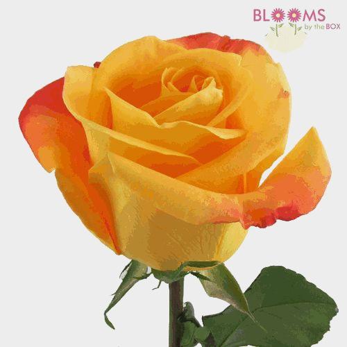 Rose Voodoo Orange 40cm