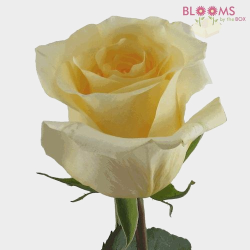 Rose Creme De La Creme 50cm