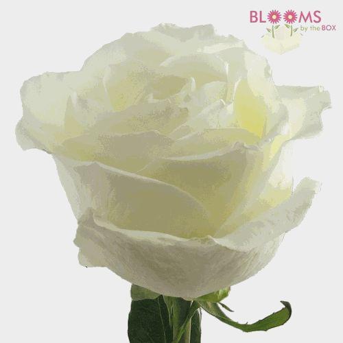 Rose Tibet White 50cm