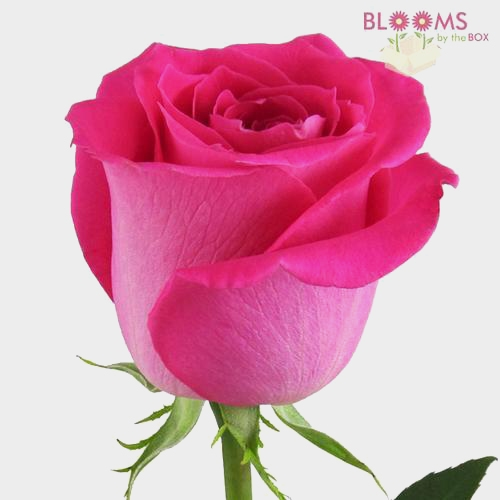Rose Topaz Hot Pink 50 Cm.