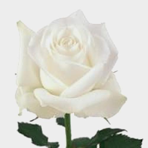 Rose Akito 40 cm.