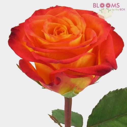 Rose Circus 50 cm.