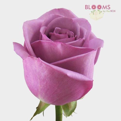 Rose Cool Water 40 cm.