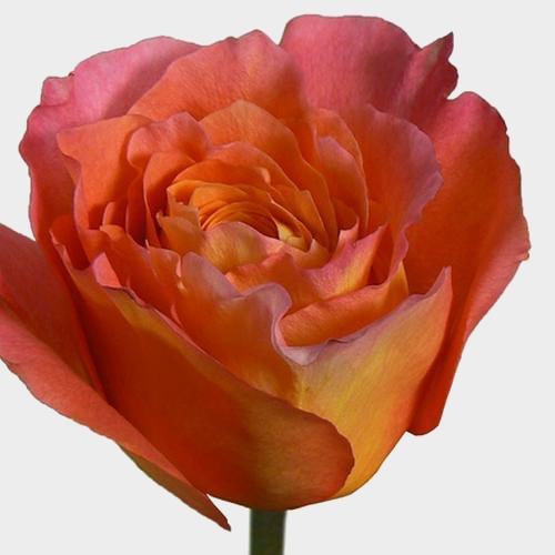 Rose Free Spirit 40 cm.