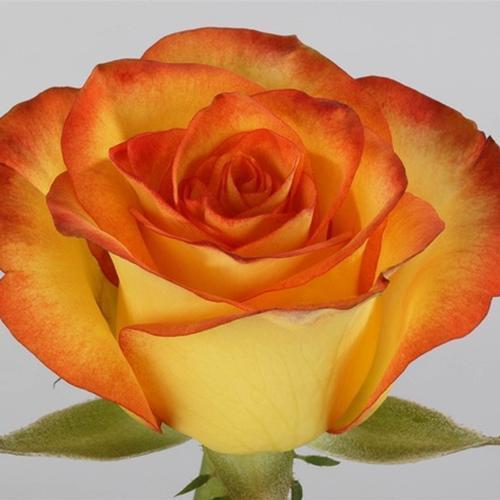 Rose High & Magic 40 cm.
