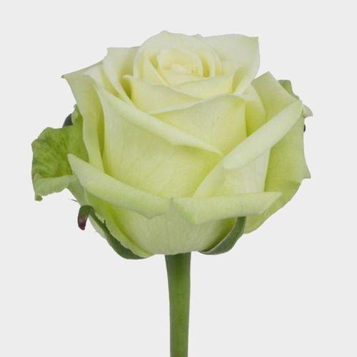 Rose Jade 40 cm.