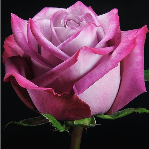 Rose Moody Blues 40 cm. (Large Head)