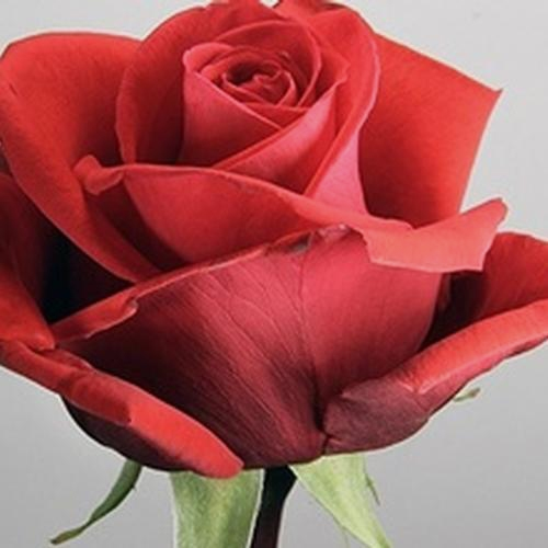 Rose Nina 50 cm.