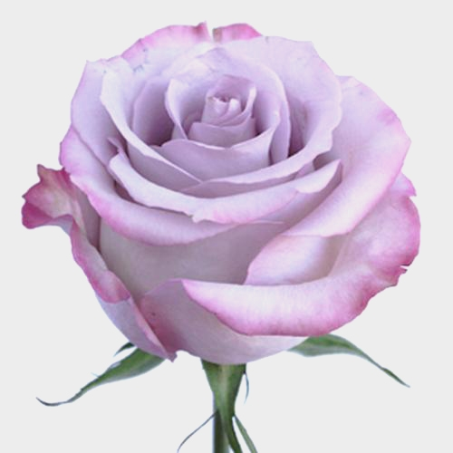 Rose Purple Haze 50 cm.