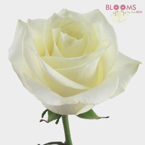 Rose Polar Star 50 cm.