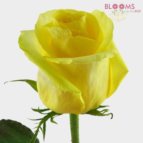 Rose Yellow 40 cm.